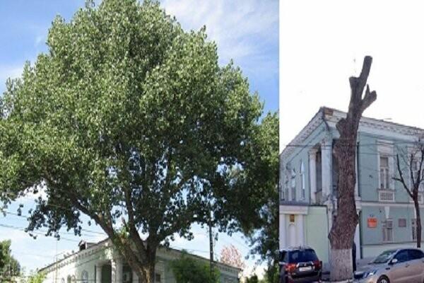 Военком Таганрога выразил сожаление по поводу обрезки кроны векового дерева, фото-1
